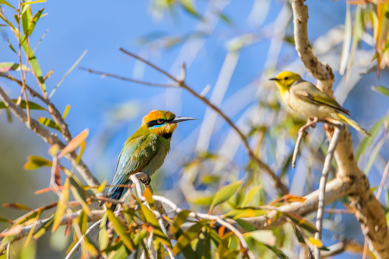 The rainbow bee-eater and the white-plumed honeyeater, near Marble Bar, WA