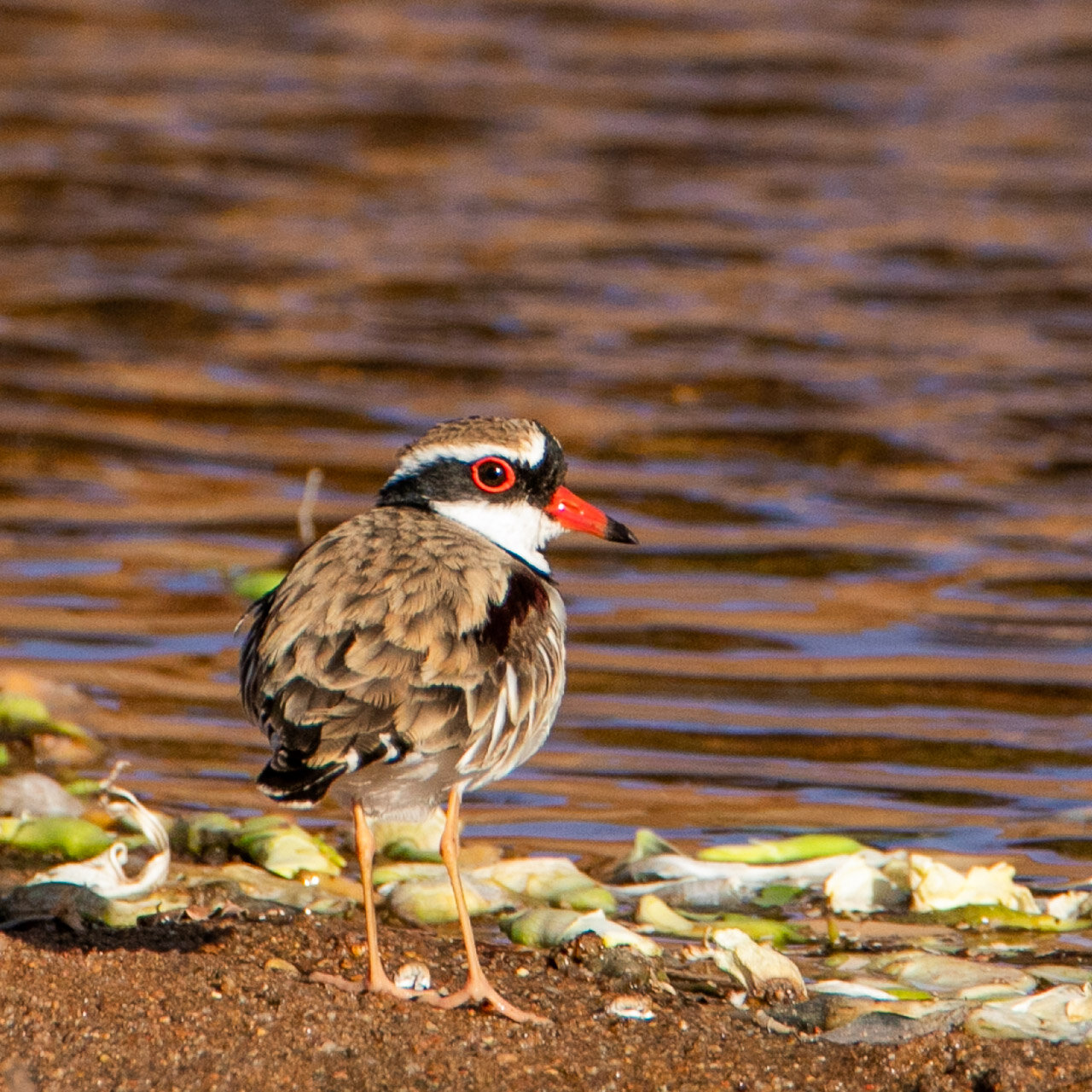 The black-fronted dotterel spotted beside a billabong in Marble Bar