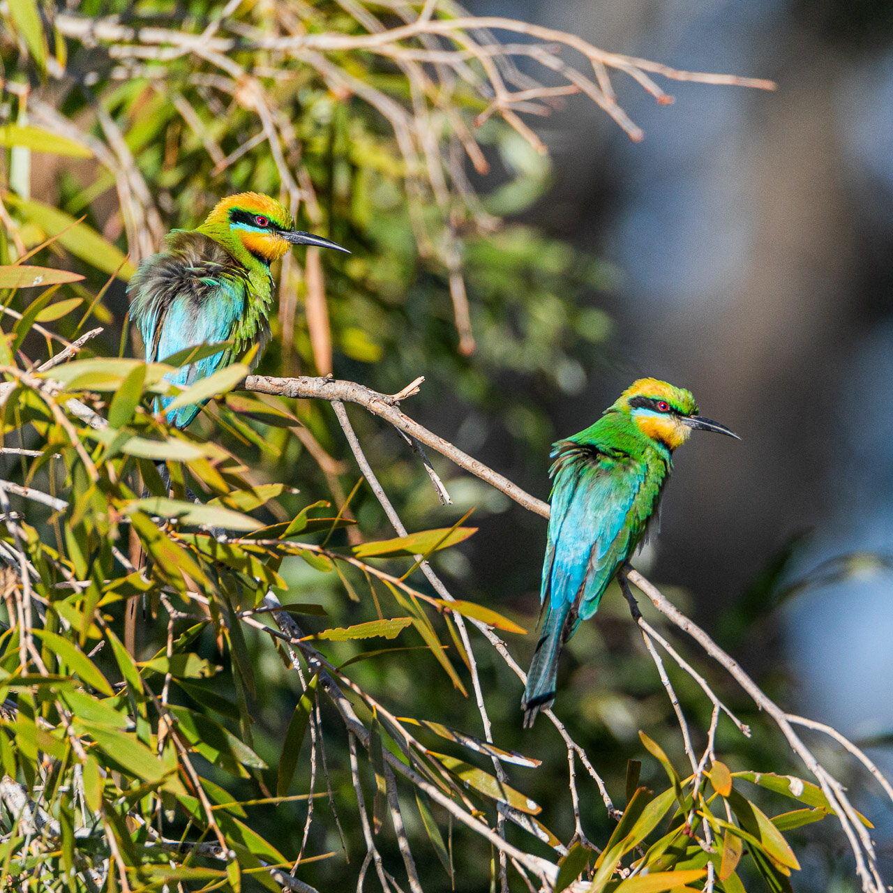Rainbow bee-eaters spotted at a billabong near Marble Bar, Western Australia