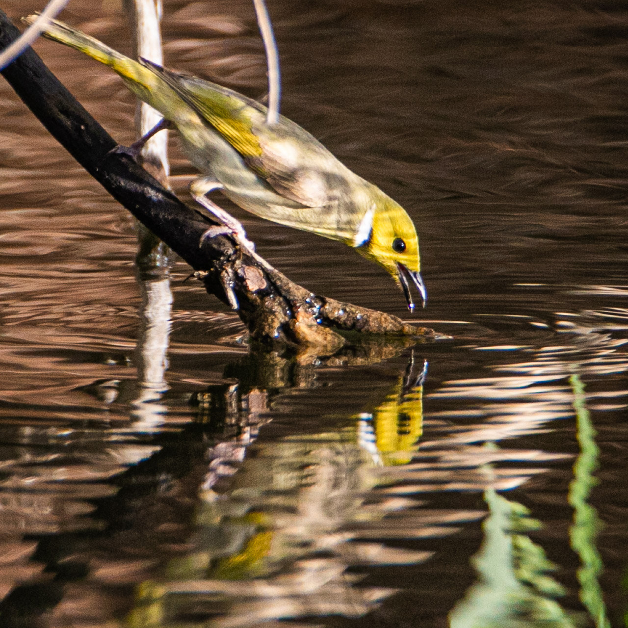 The white-plumed honeyeater drinking from a billabong in the Pilbara, Western Australia