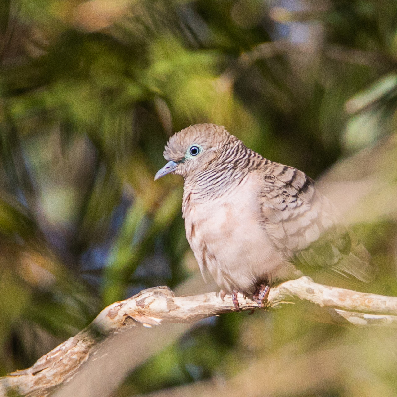A peaceful dove seen by a billabong north of Marble Bar in the Pilbara region of Western Australia