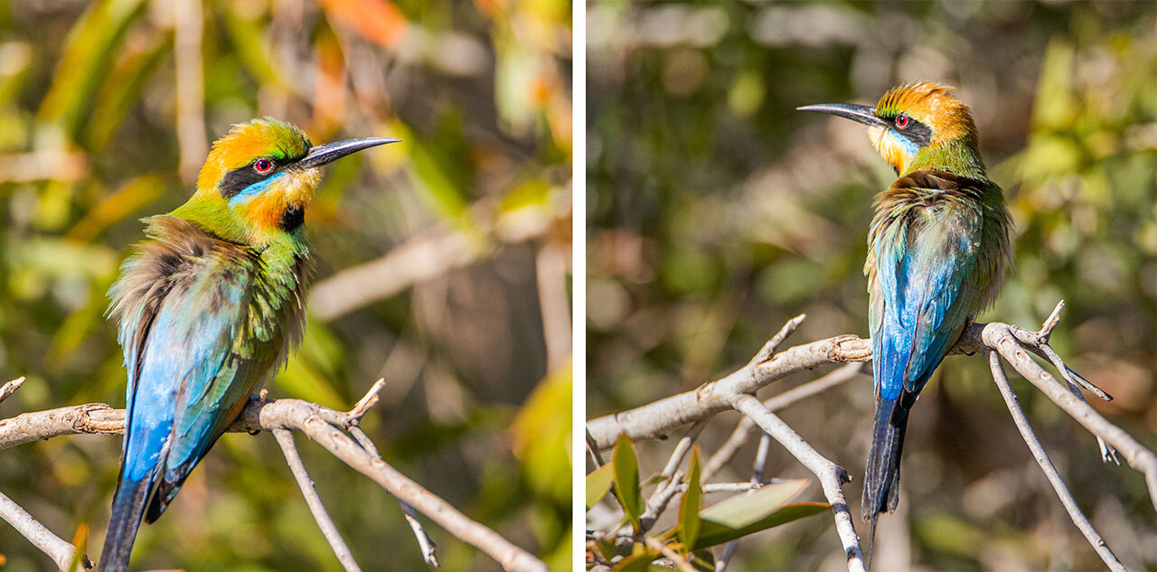 A rainbow bee-eater spotted near a creek in Marble Bar, WA