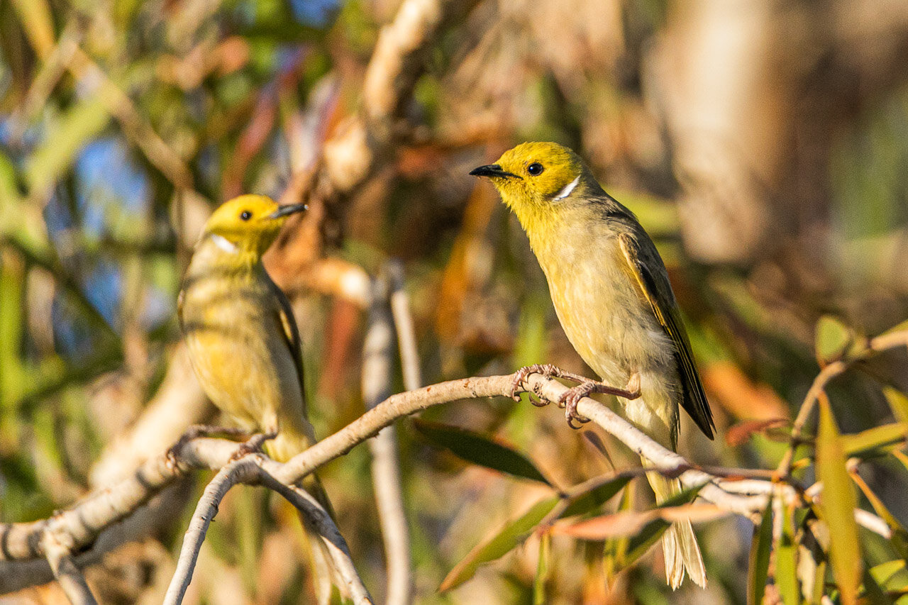 Two white-plumed honeyeaters spotted near Marble Bar in the Pilbara