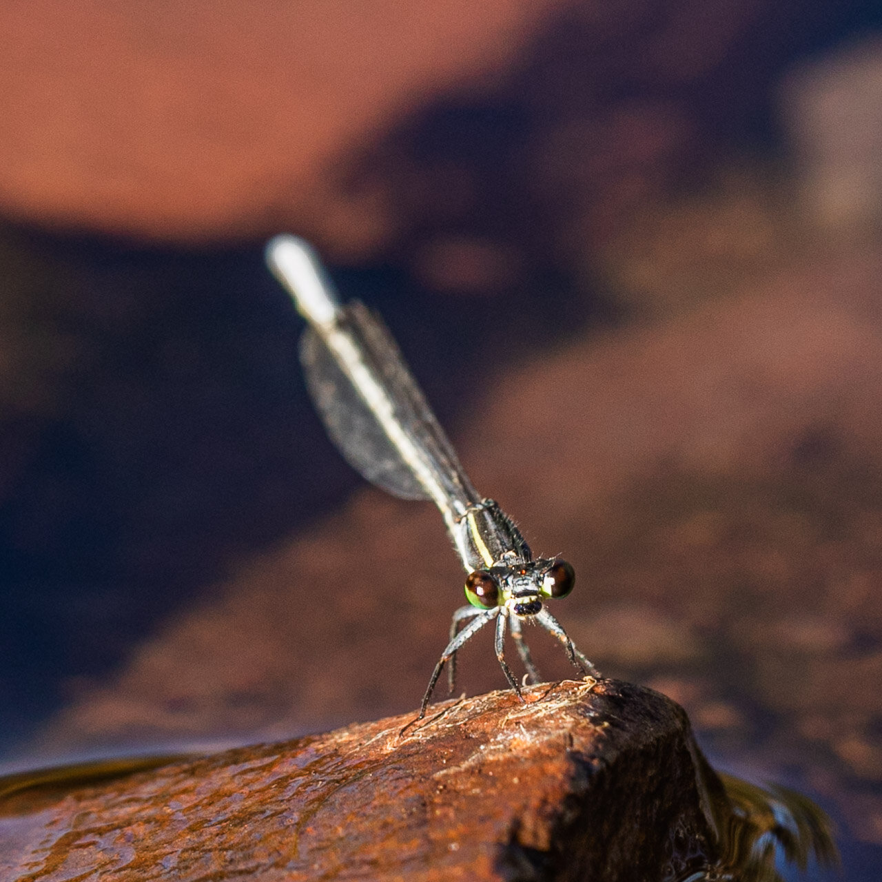 A dragonfly resting on a rock in the Pilbara