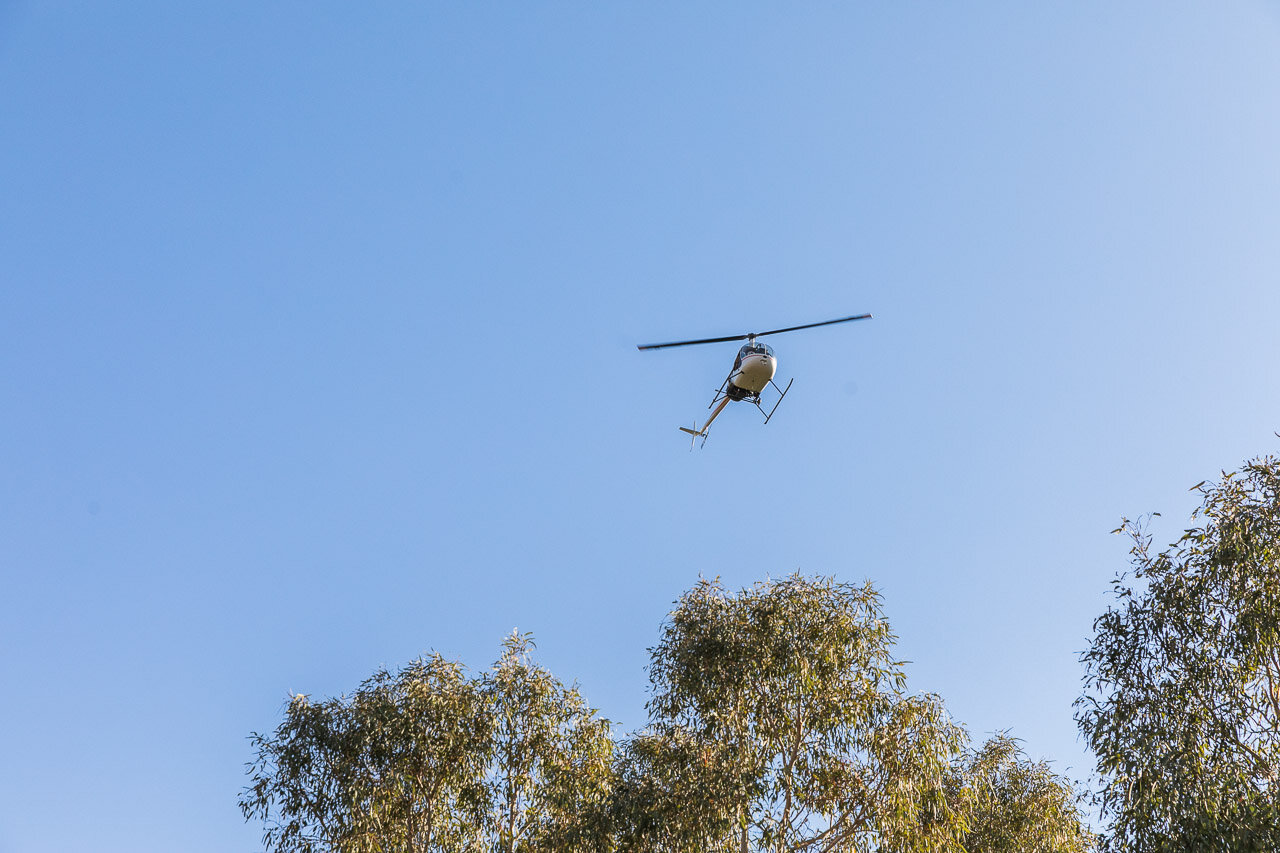 A helicopter is used for mustering cattle in the Pilbara
