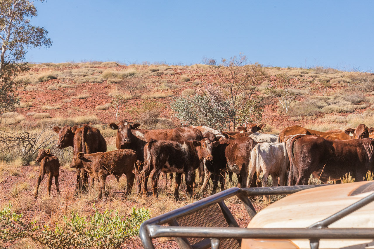 Cattle being rounded up at mustering time on Ethel Creek Station in the Pilbara