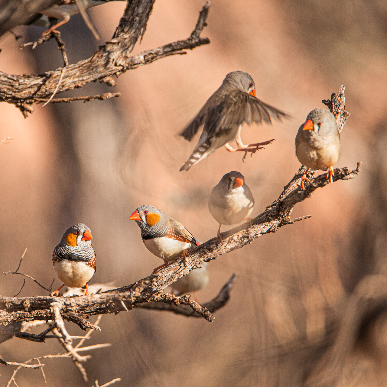 Zebra finch coming in to land in a tree