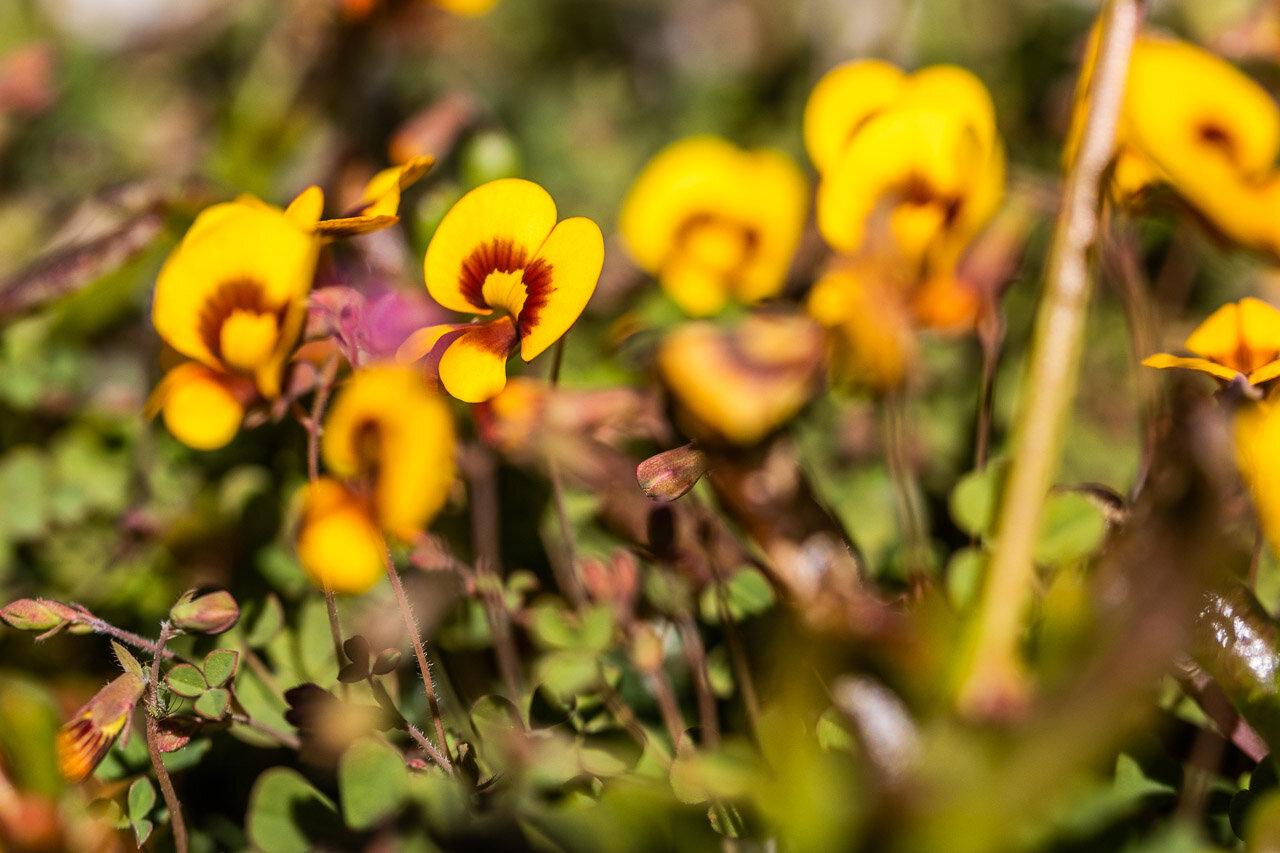 Western Australian wildflowers near Cue