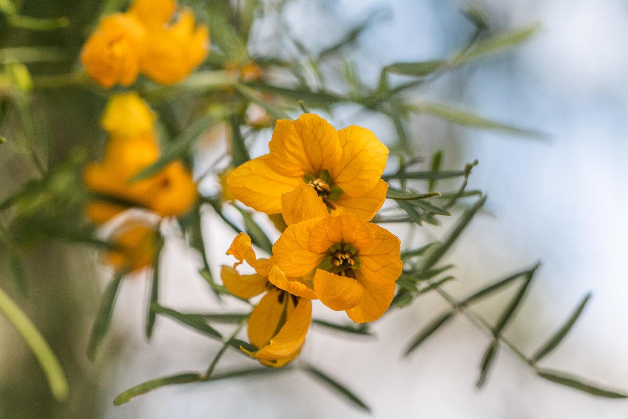 Wildflowers in Western Australia's Goldfields region