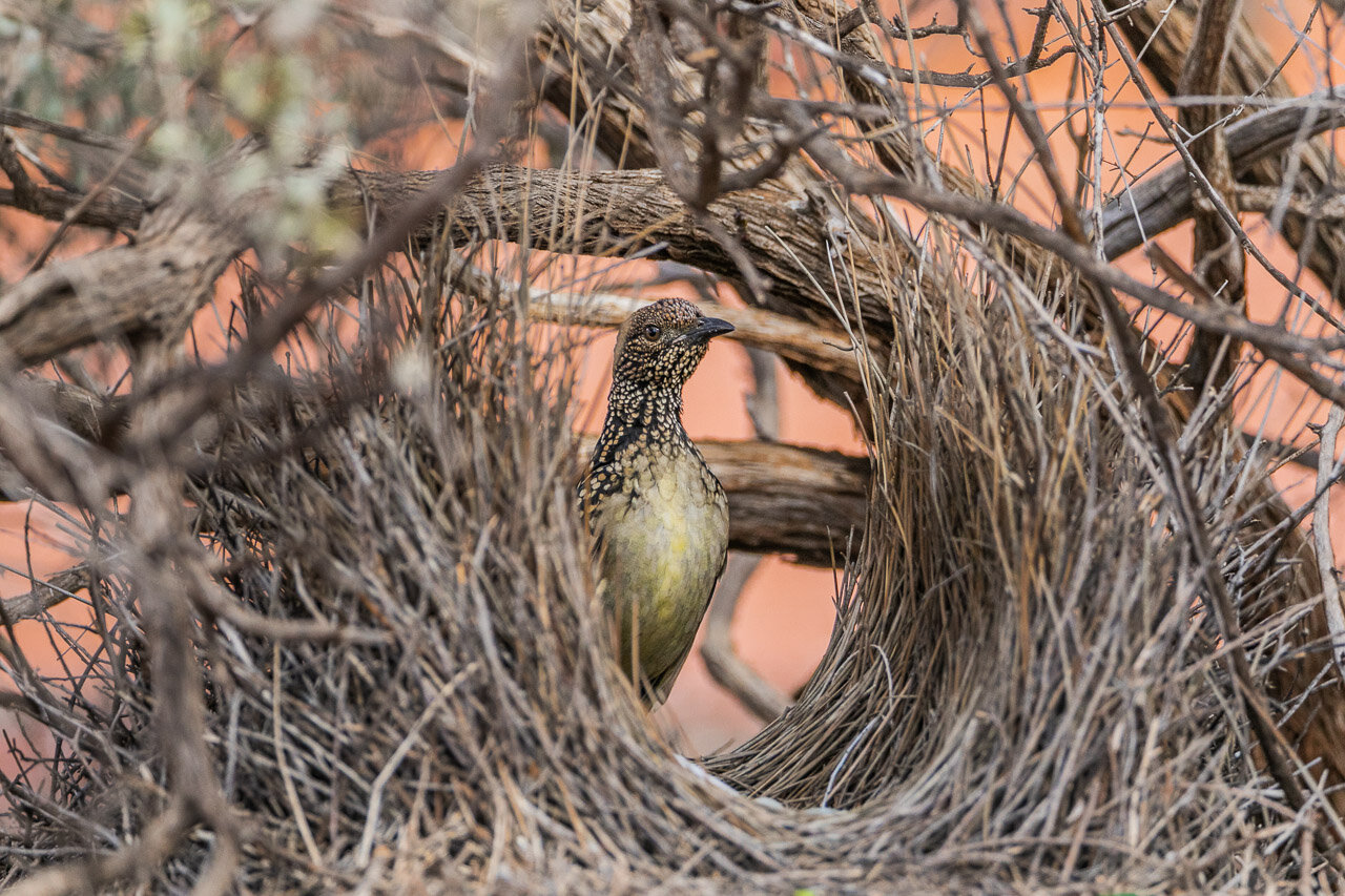 A bowerbird in his elaborately constructed bower near Cue, WA