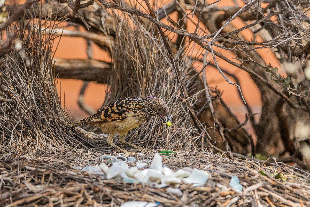 Bowerbirds collect all sorts of treasures to decorate their bower