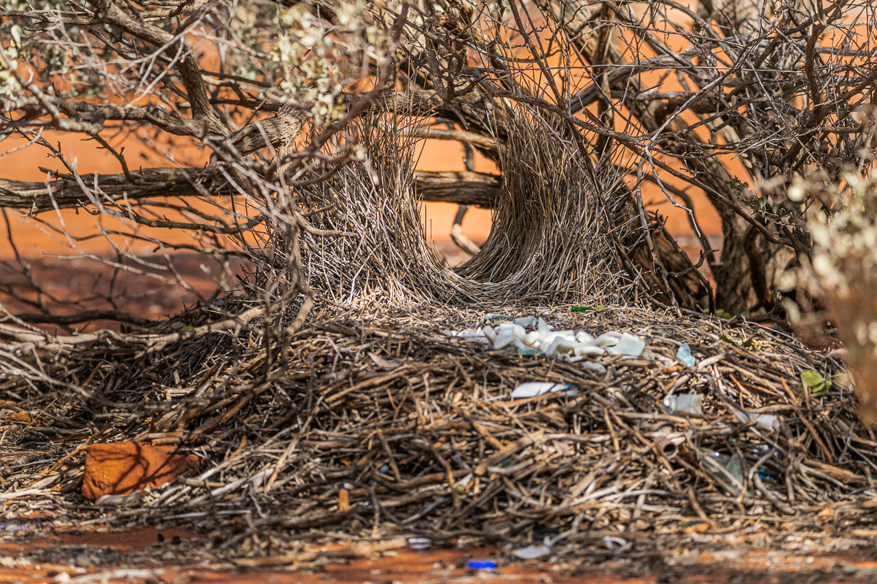 A bower made by a male bowerbird to attract a mate. It's an elaborate construction which they decorate with found objects.