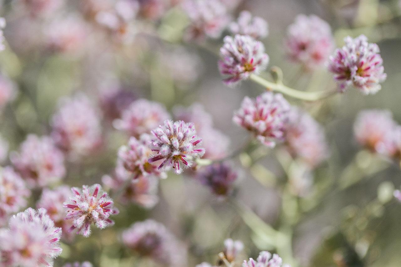 Wildflowers in Cue near Western Australia