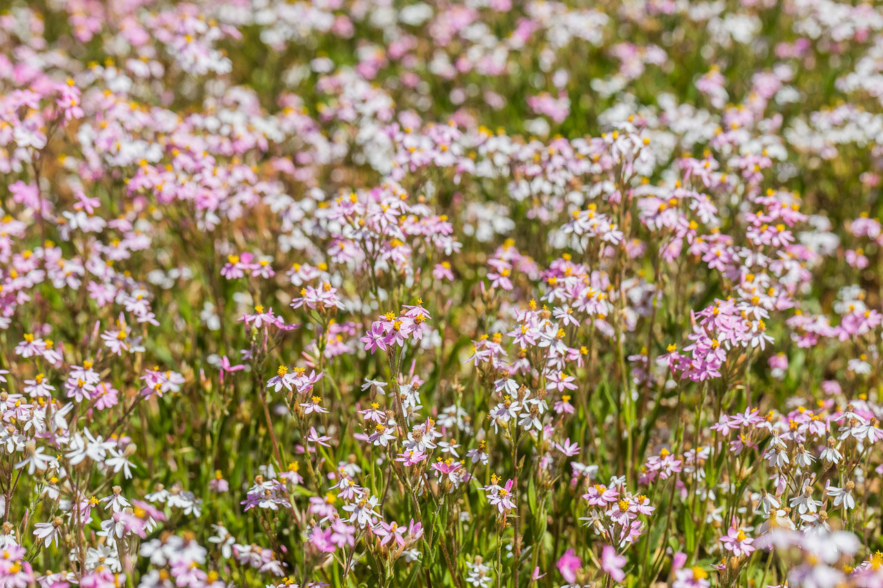 A carpet of pink and white wildflowers at Nallan Station near Cue in WA