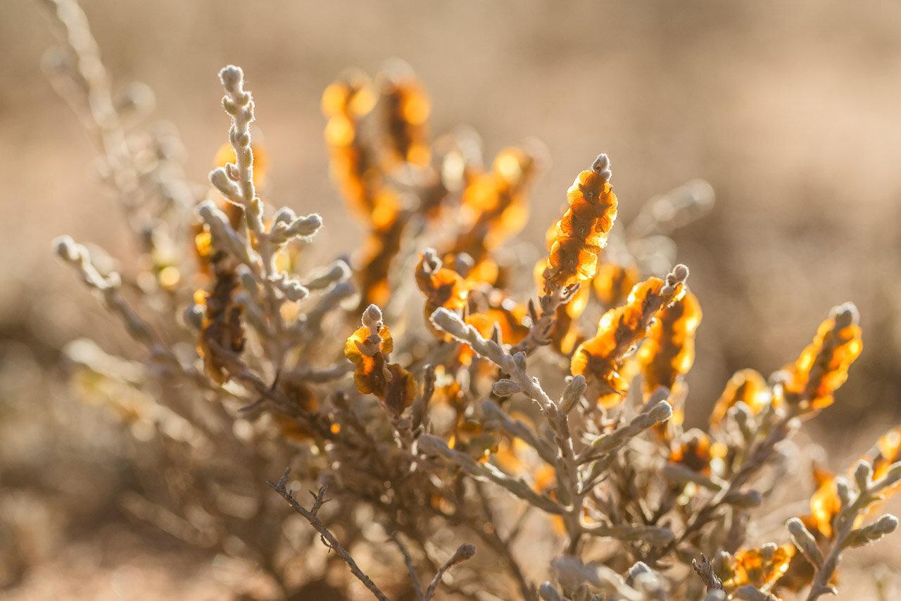 Backlit wildflowers at Nallan Station in the Goldfields, Western Australia