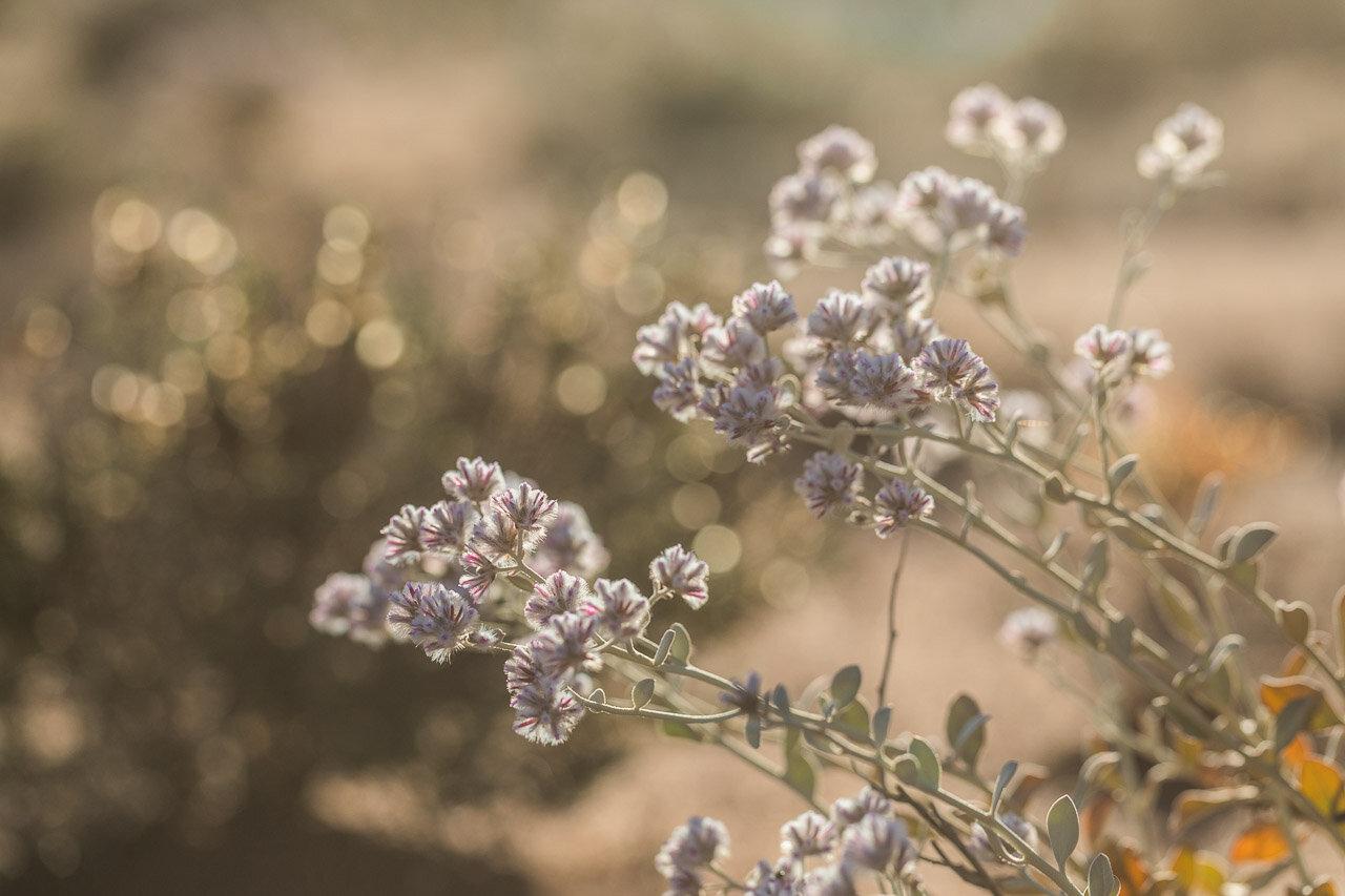 Backlit Western Australian wildflowers in the Goldfields