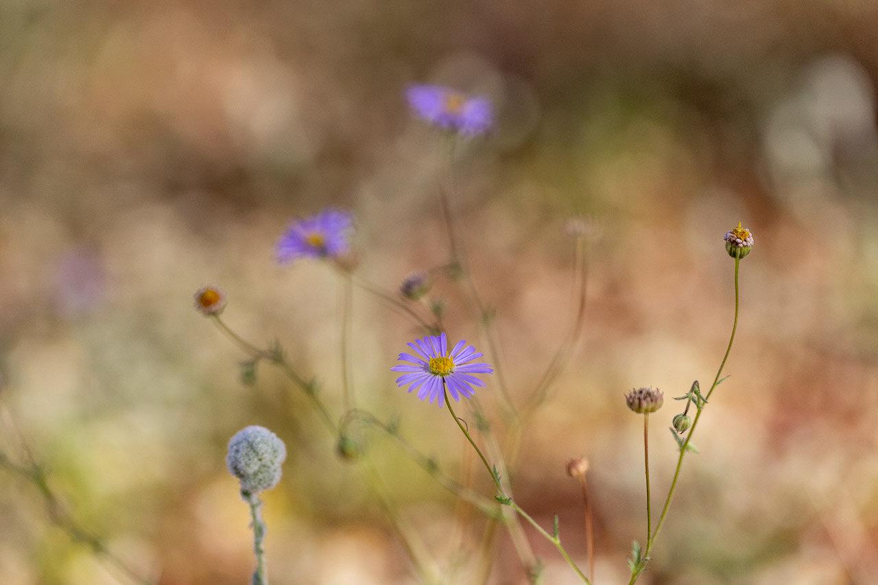 Pretty purple wildflowers near Cue, WA