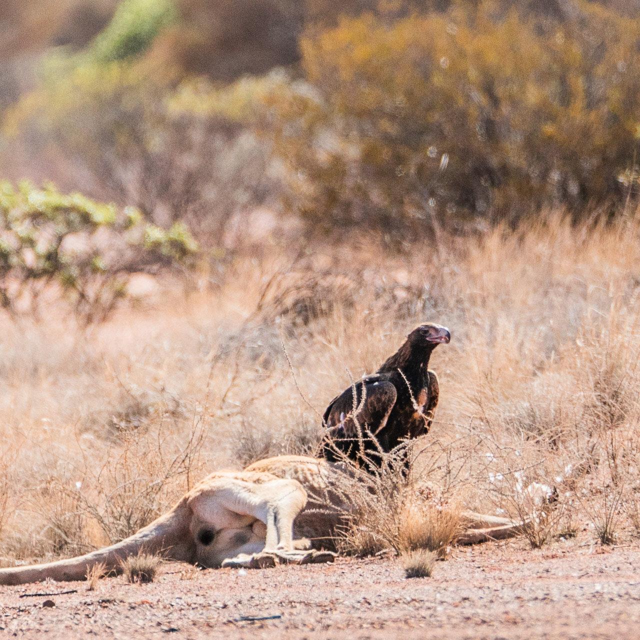 Roadkill - a wedgetail eagle with a dead kangaroo