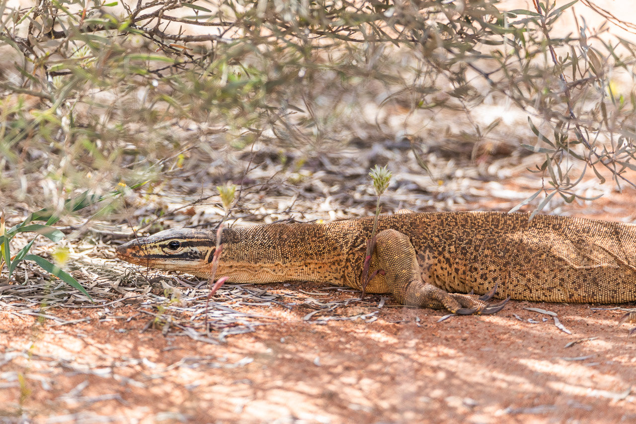 A racing goanna, aka bungarra, staying motionless and low to the ground