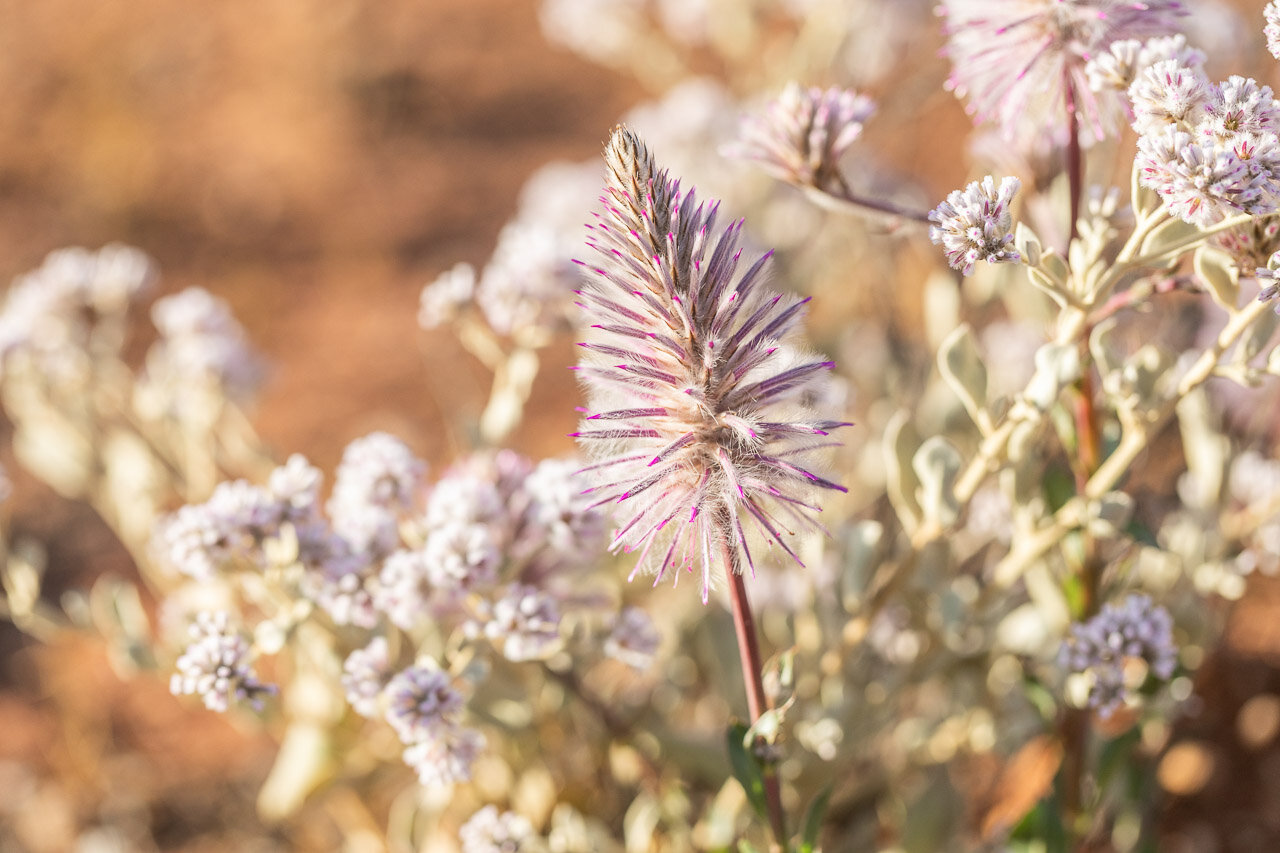 Wildflowers are in abundance in the Goldfields in early Spring
