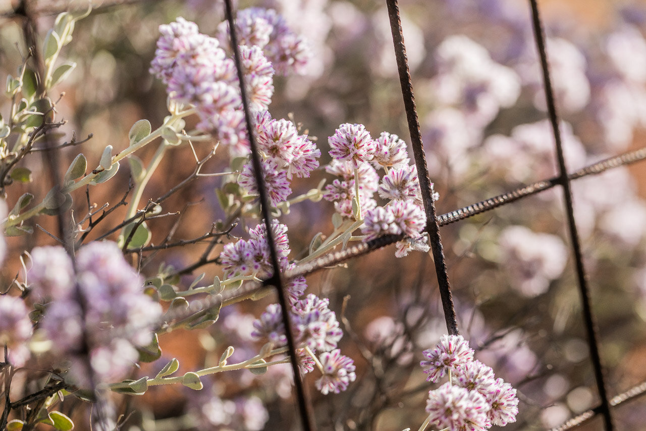 Wildflowers and metal fencing in the Goldfields, WA