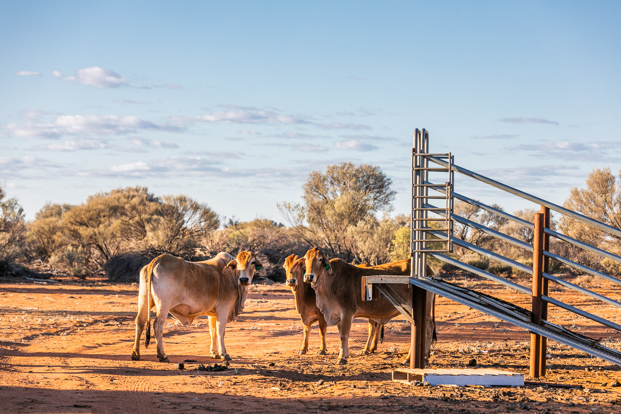 Cattle by the yards at Nallan Station, WA