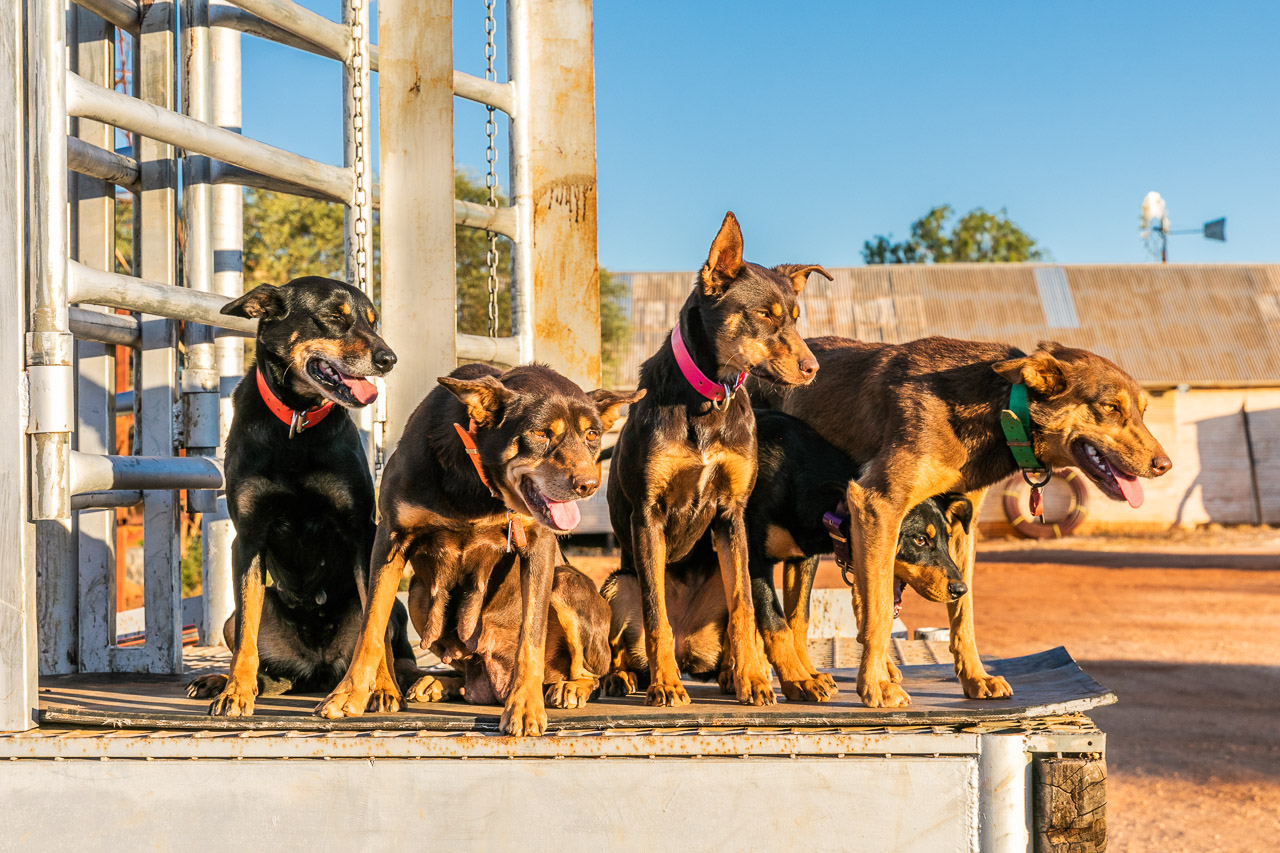 The cattle dogs are Nallan Station posing by the cattle yards