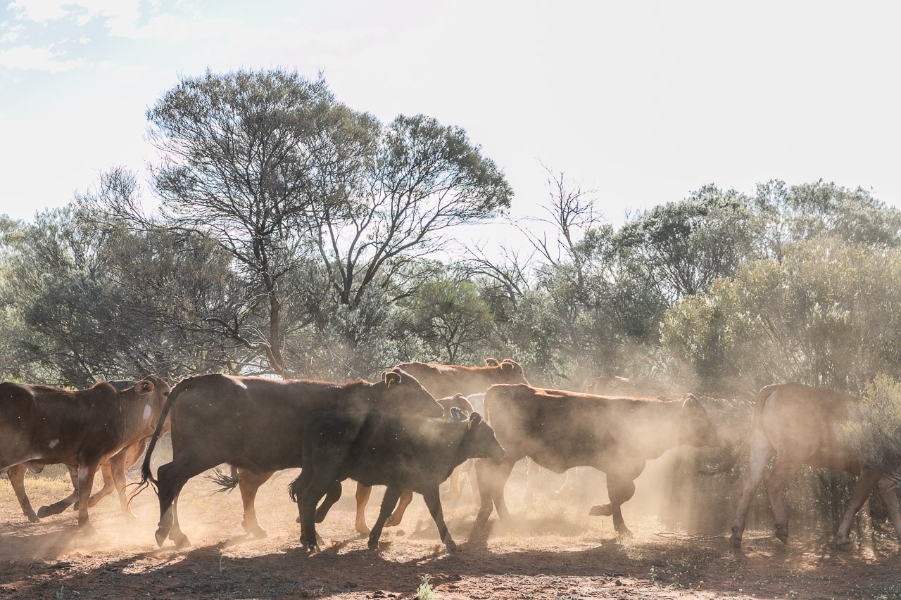 Cattle and clouds of dust at Nallan Station in Western Australia's Goldfields