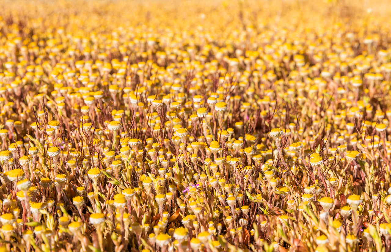 A carpet of yellow wildflower marking springtime in Western Australia