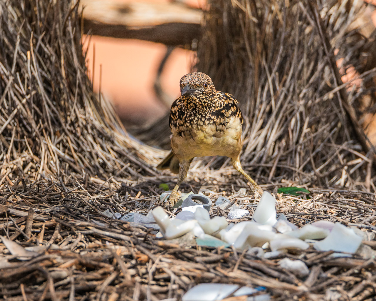 A bowerbird at Nallan Station, rearranging its collection of found treasure