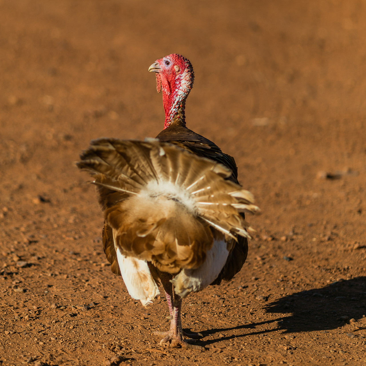 A turkey walking away with attitude