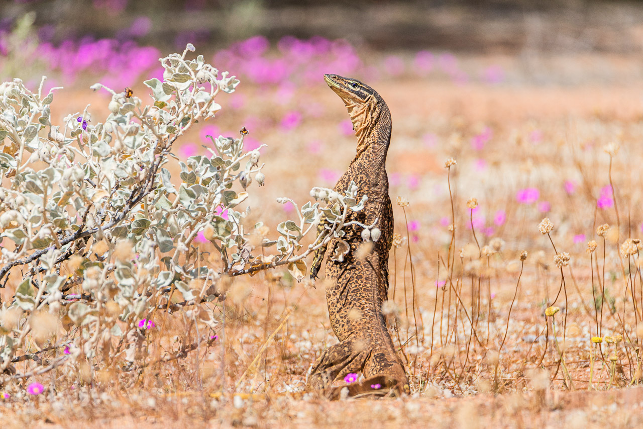 Amongst the wildflowers a bangarra was spotted at Walga Rock, near Cue in Western Australia
