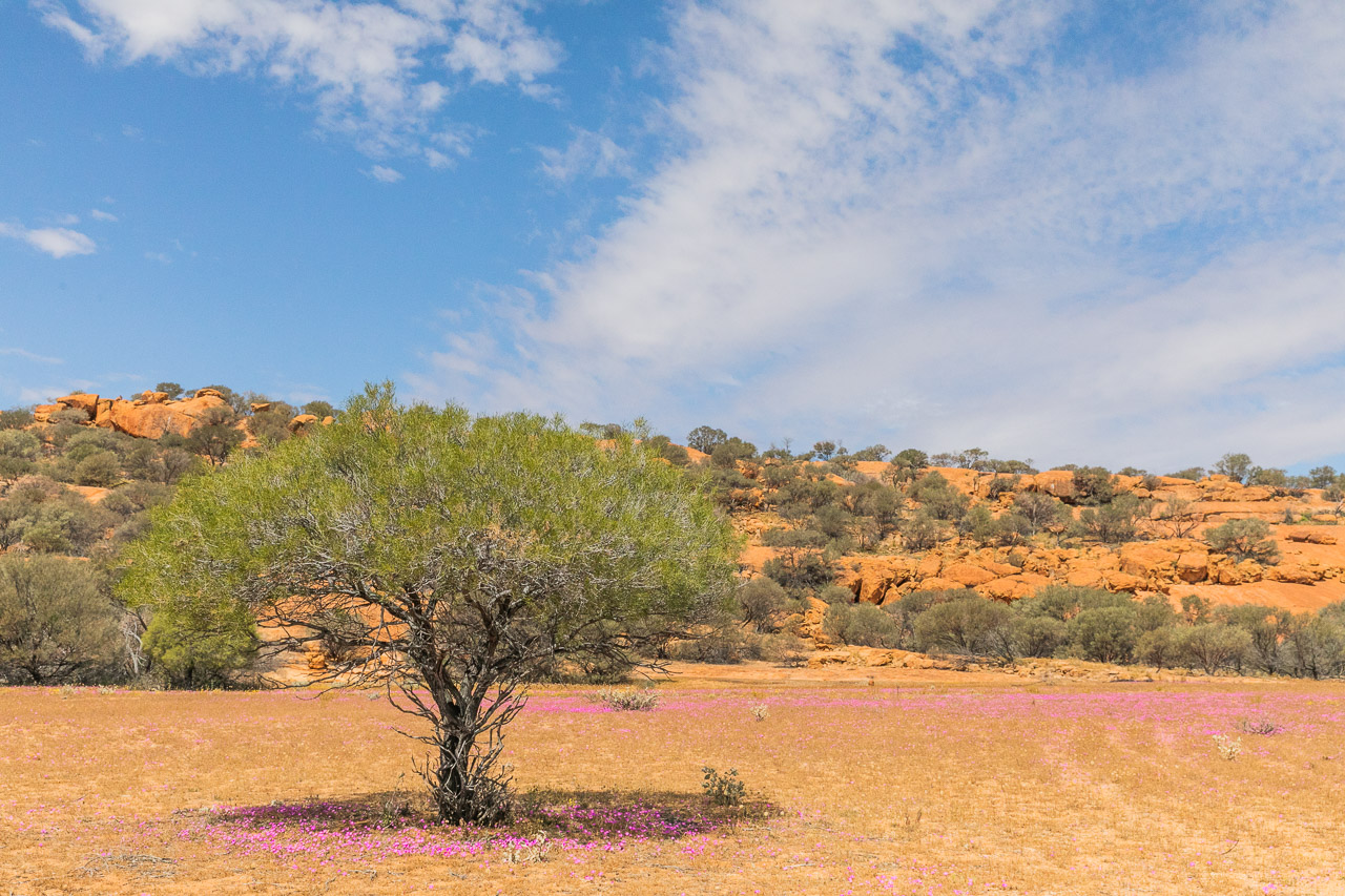 A carpet of pink wildflowers in front of Walga Rock in spring
