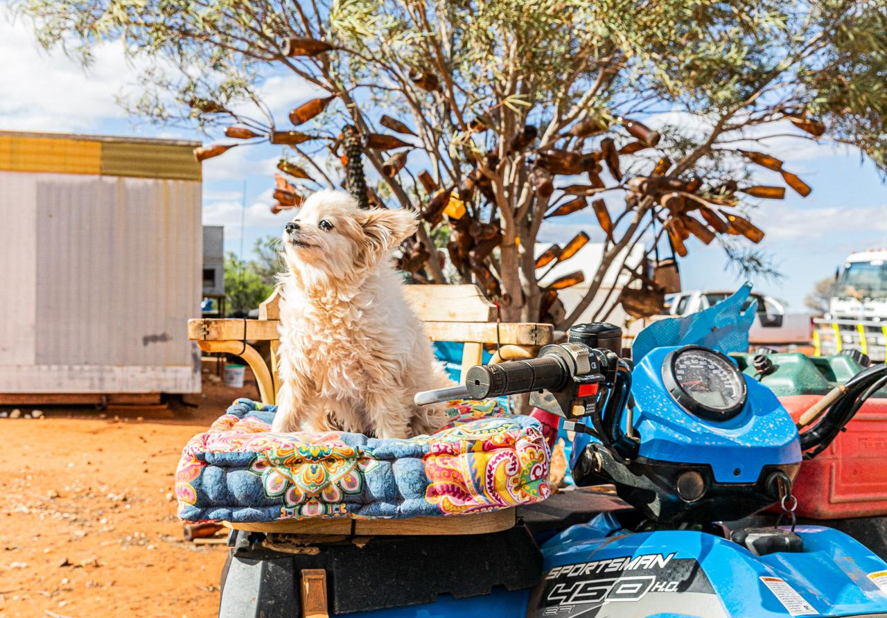 Muzza the little white dog on his quad bike throne
