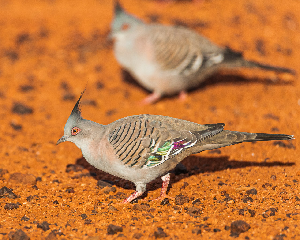 Crested pigeons in the red dirt of the Goldfields in WA