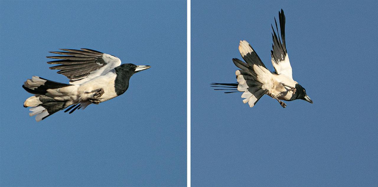 Butcher birds in flight