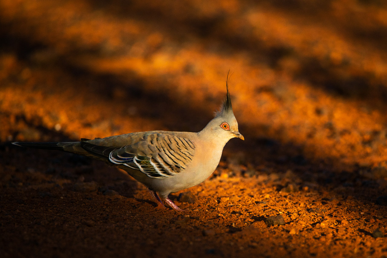 Crested pigeon and deep late afternoon shadows in the Goldfields