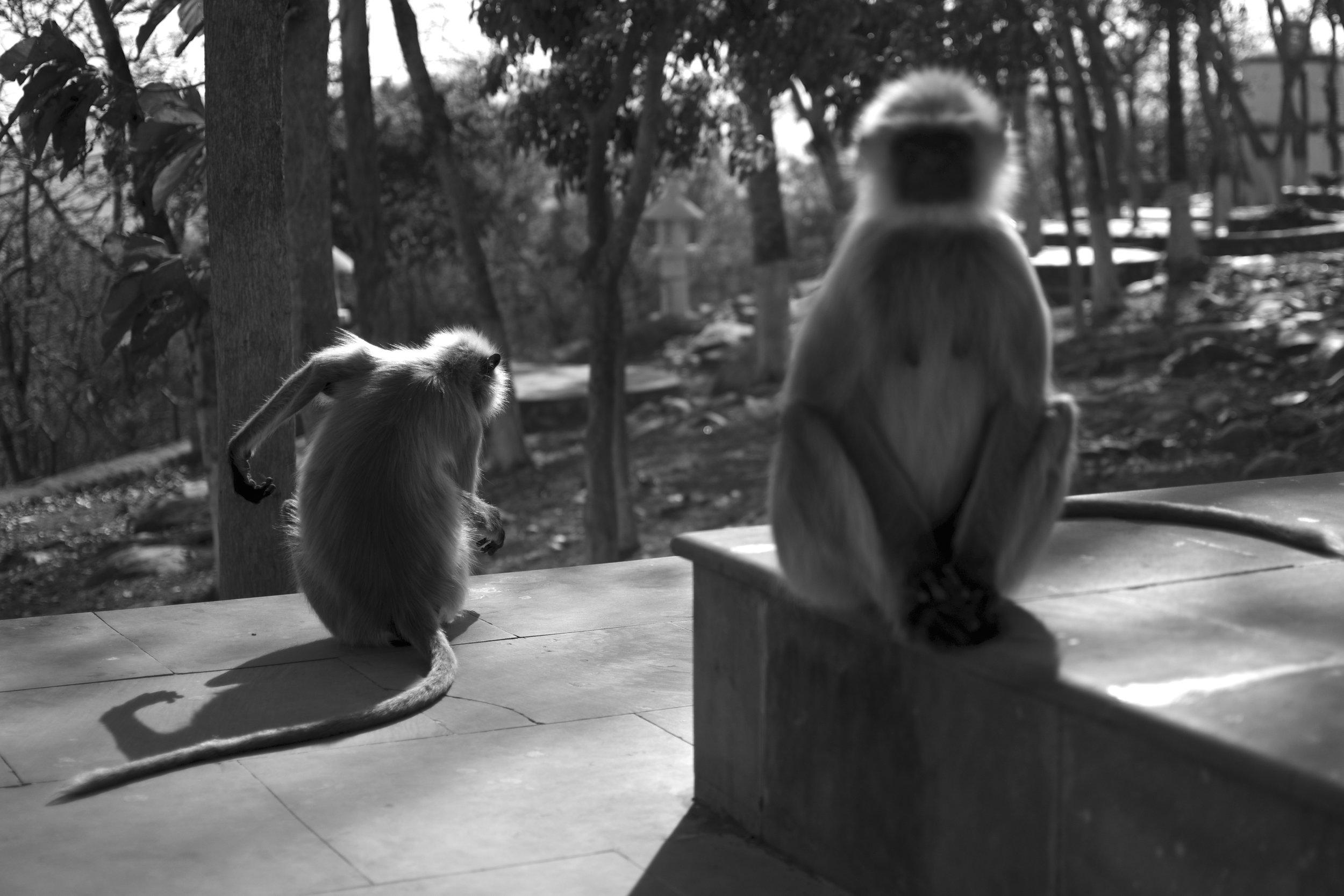 rajgir monkeys.jpg