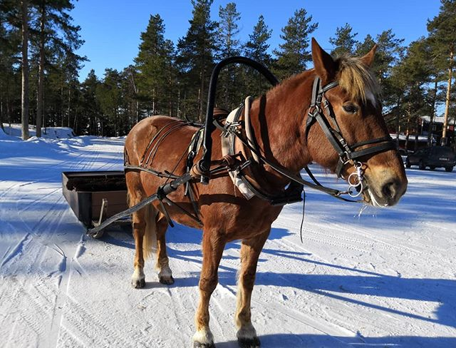 Idag har vi finbesök av hästen Viivi på söndagsskolans dag vid Pörkenäs! #voitonviivi #hästochsläde #snelhest