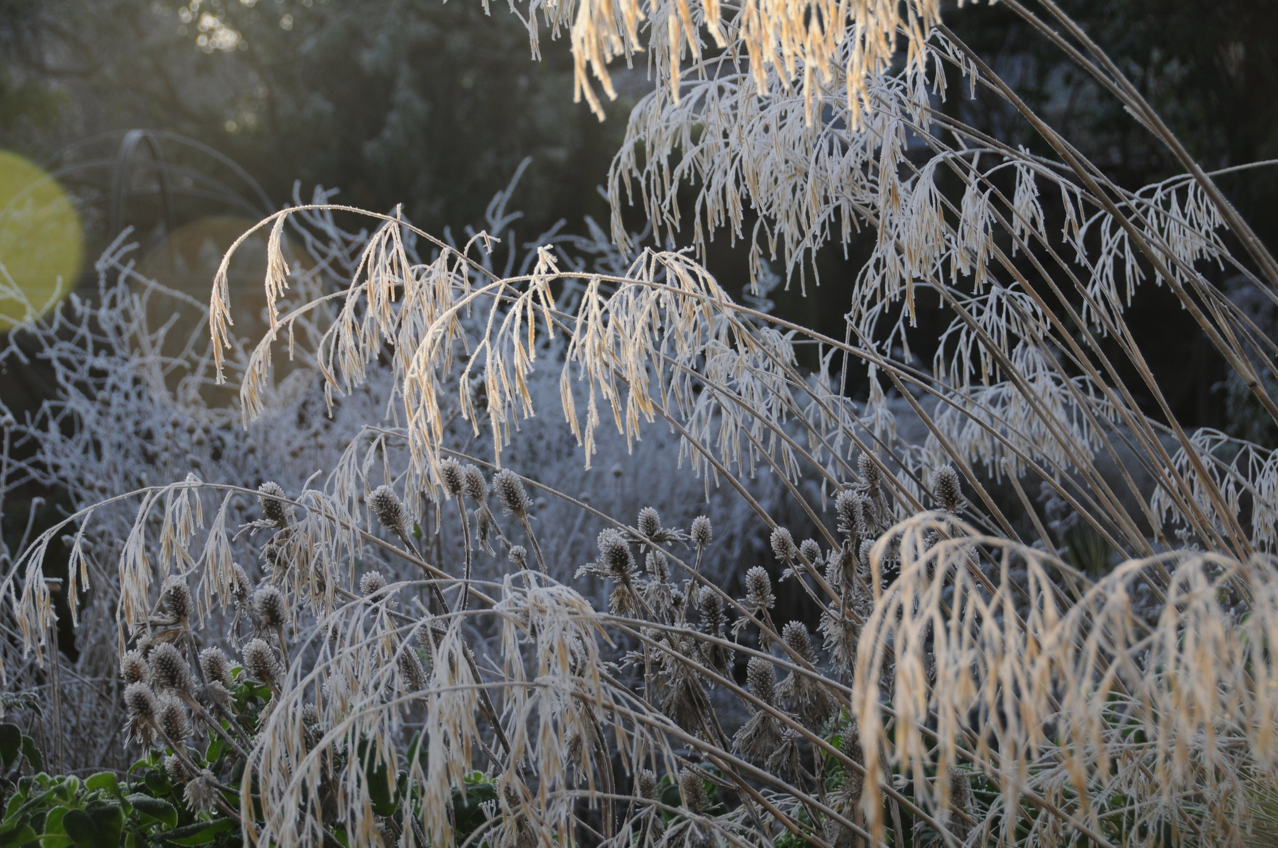 Stipa gigantea and Eryngium in the morning frost