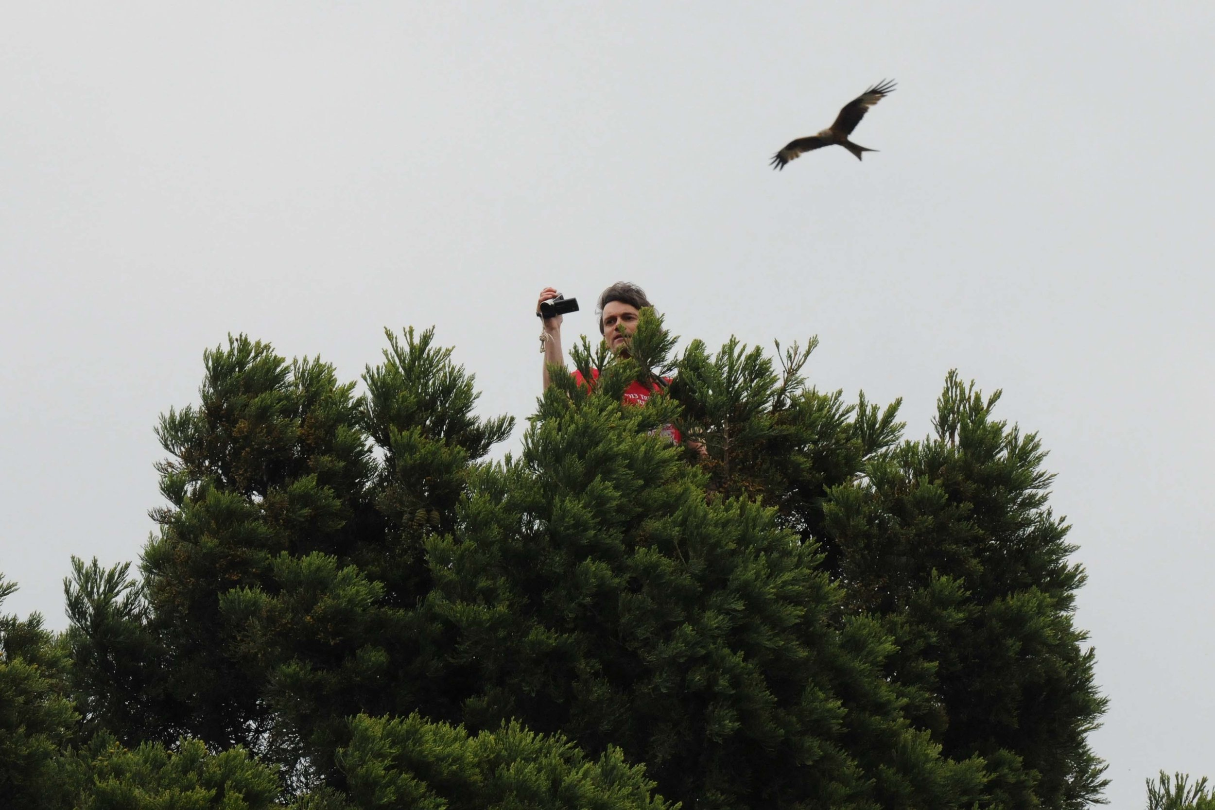 Michael filimng from the top of the Sequoia, watched by a Red Kite 2.jpg