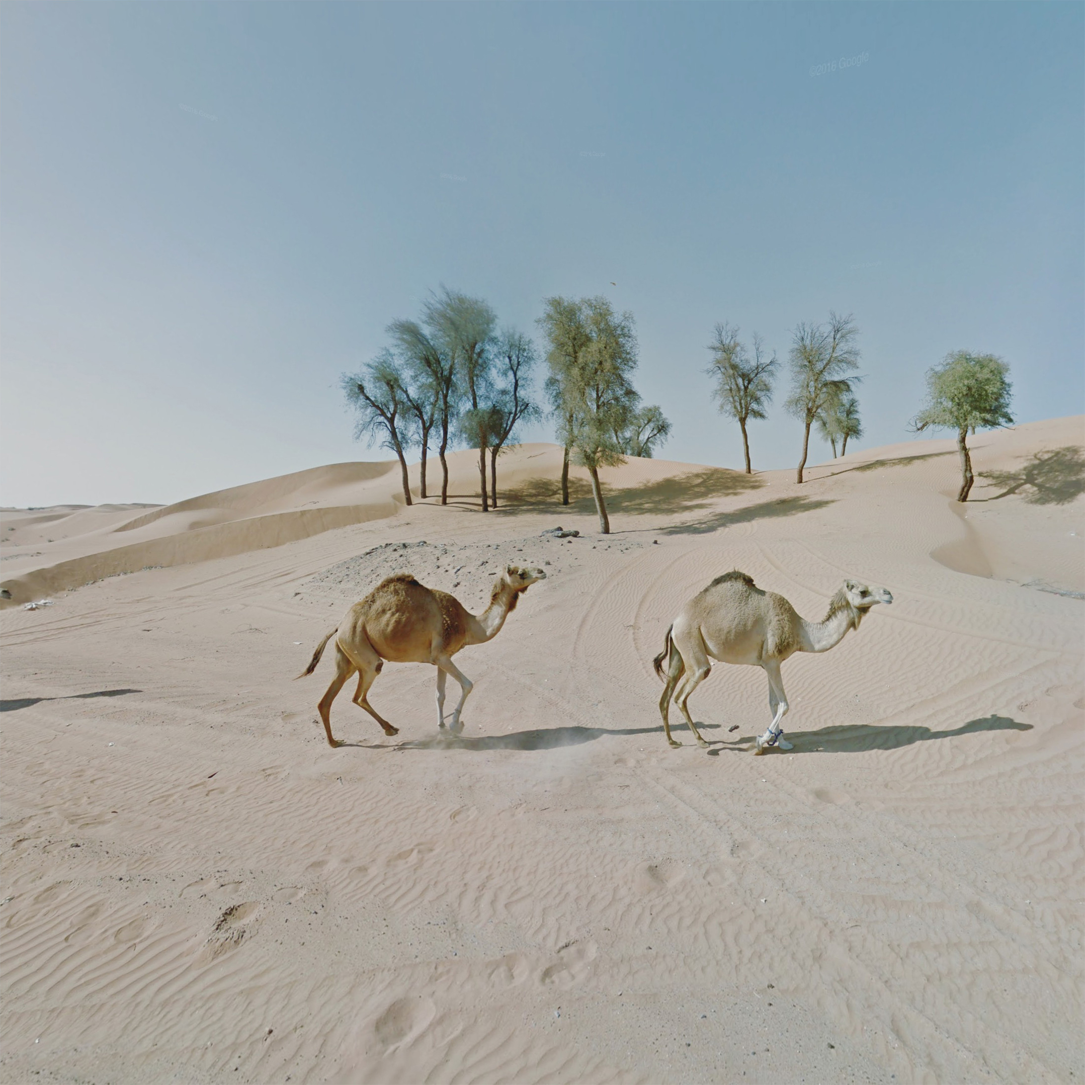 8_Syncronised_camels_UAE.jpg