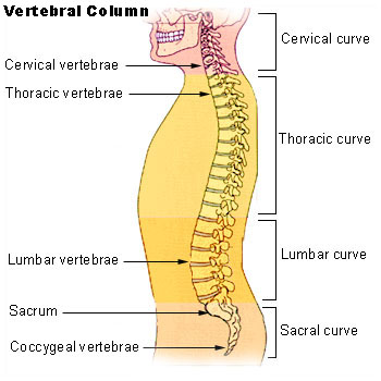 Photo courtesy of : By . – http://training.seer.cancer.gov/module_anatomy/unit3_5_skeleton_divisions.html, Public Domain, https://commons.wikimedia.org/w/index.php?curid=1394201