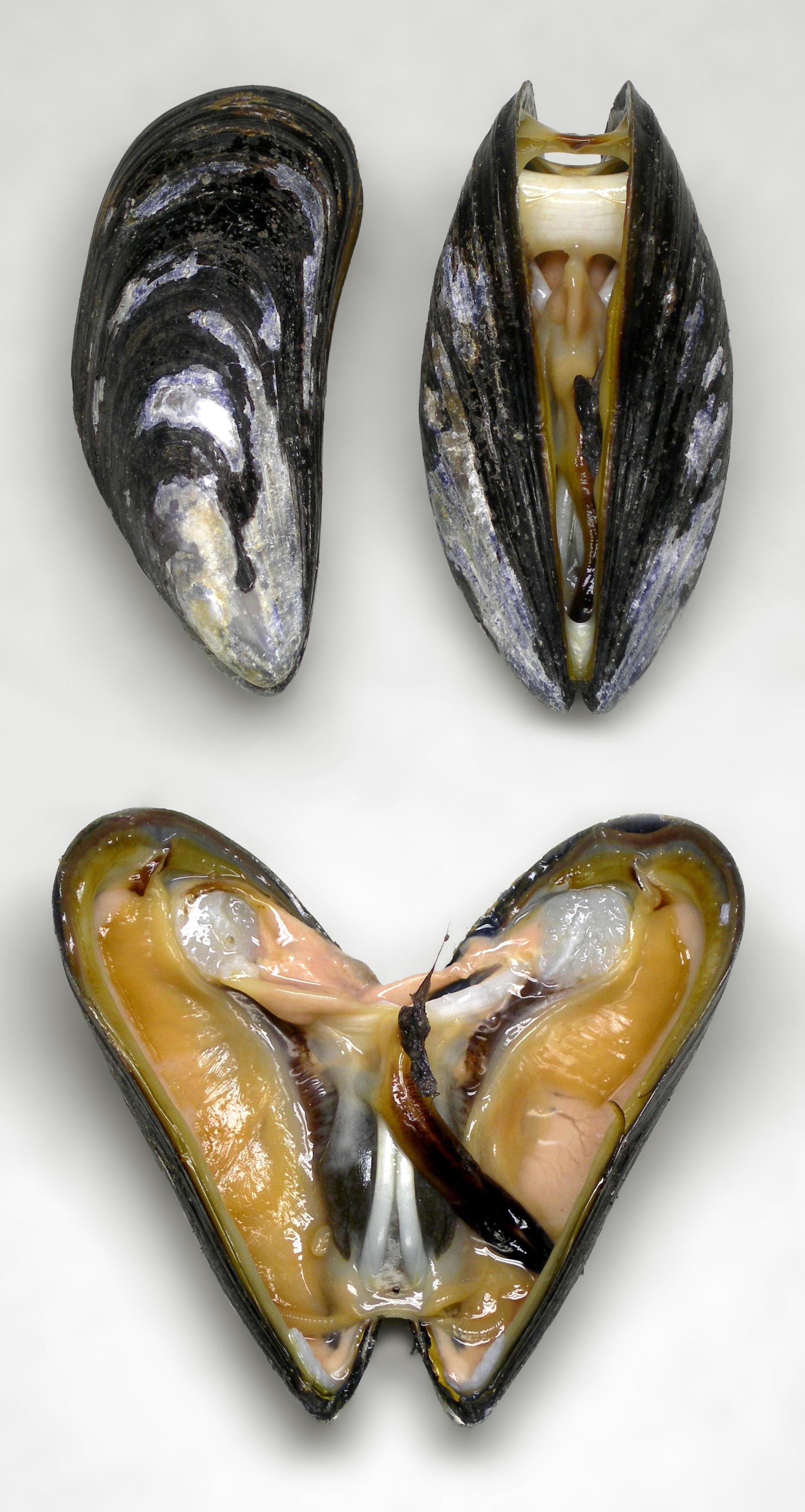 Marine blue mussel,  Mytilus edulis  (wikipedia image)