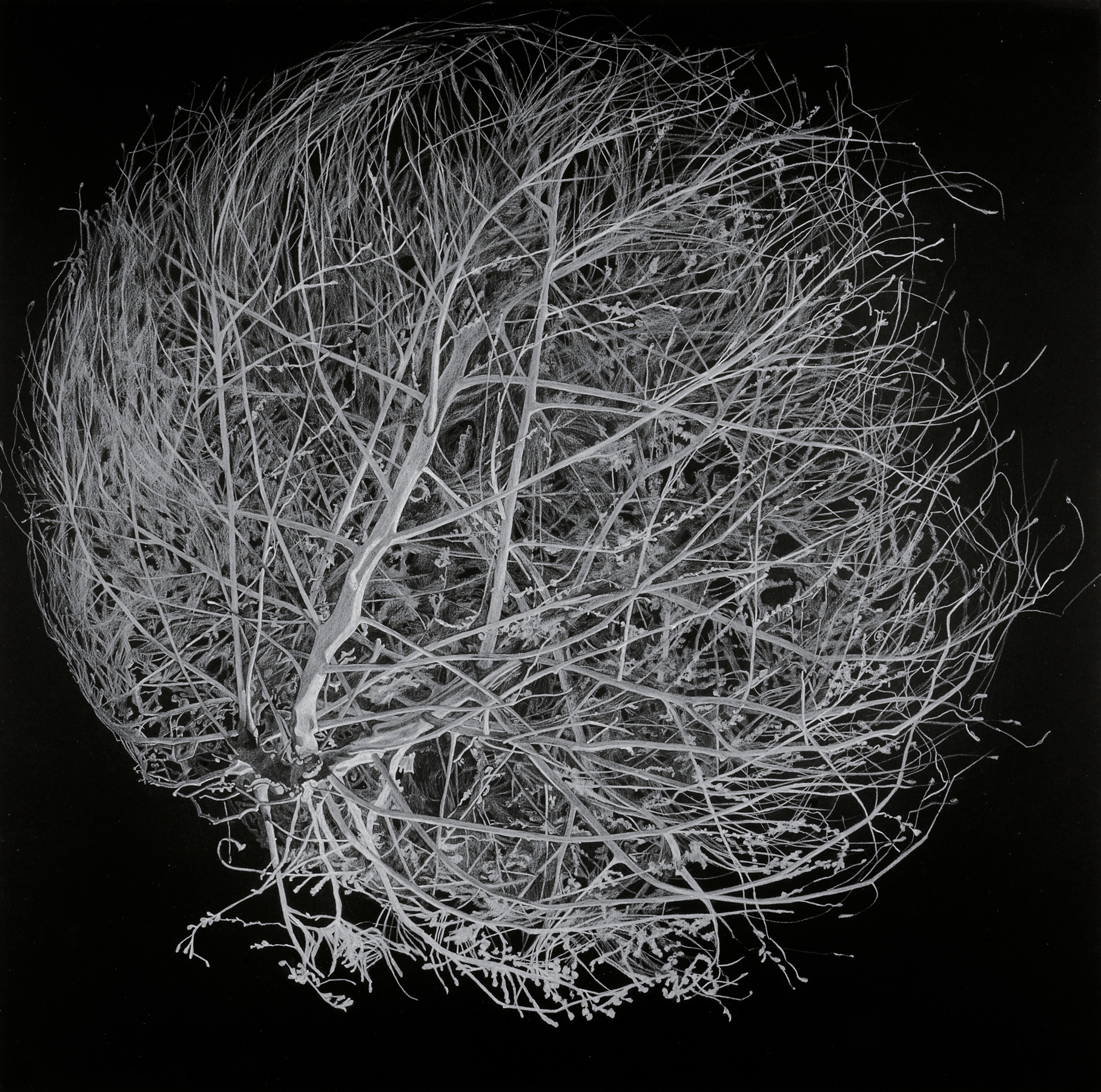 Tumbleweed On Black, 22.5 x 22.5 in, pencil on paper, 2012