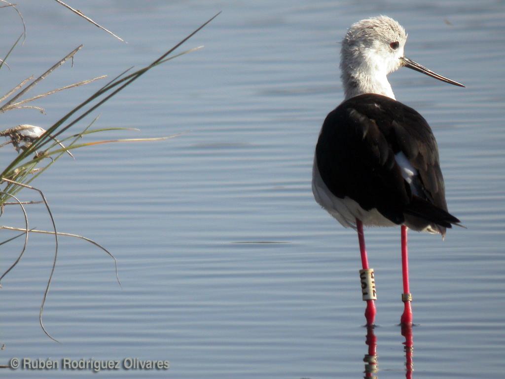 Black-winged Stilt.jpg