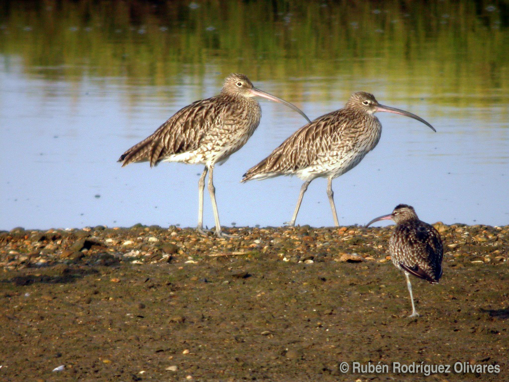 Curlew and Whimbrel.JPG