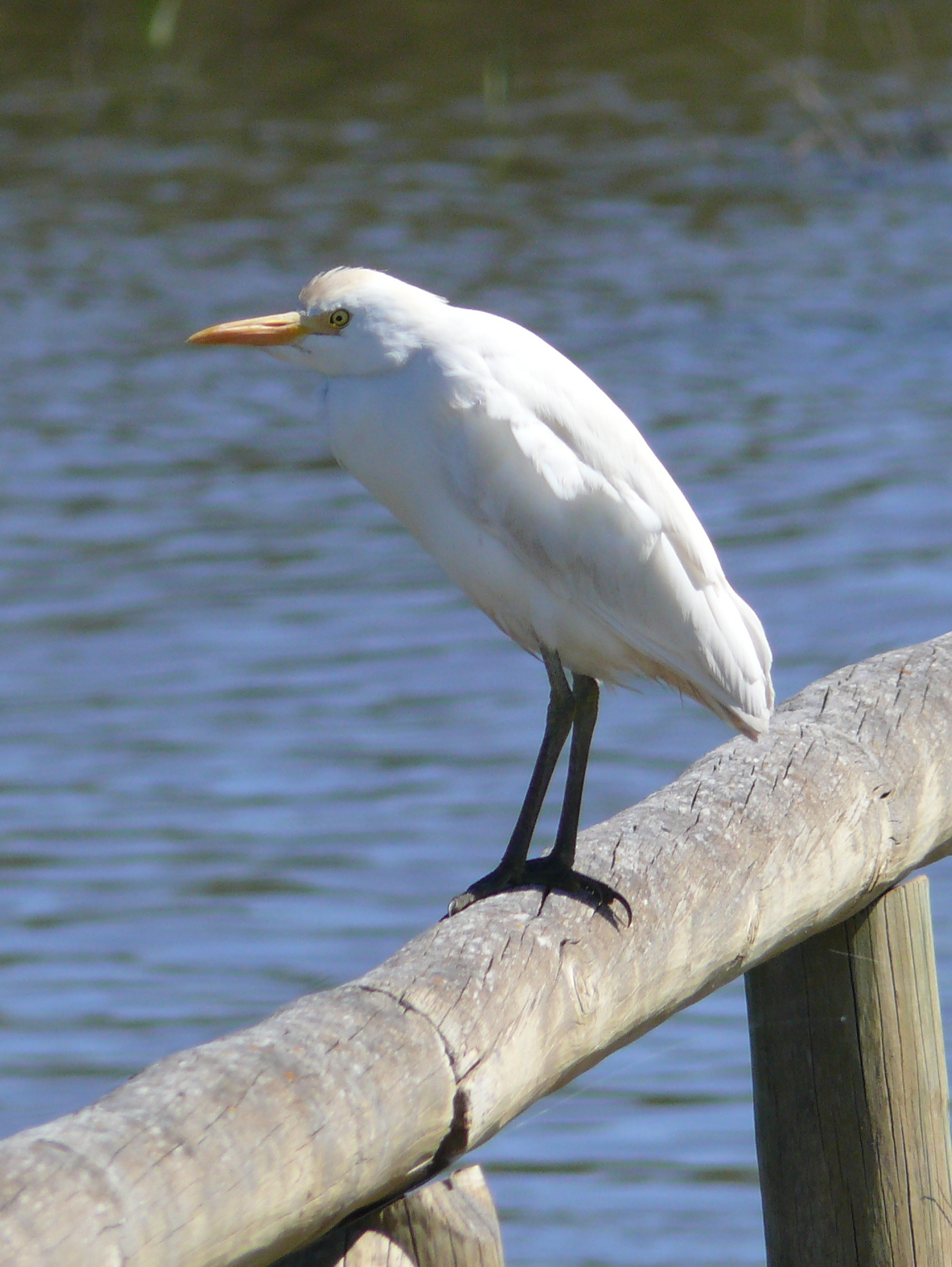 Garcilla bueyera - Cattle Egret - Bubulcus ibis 14-03-2013.JPG
