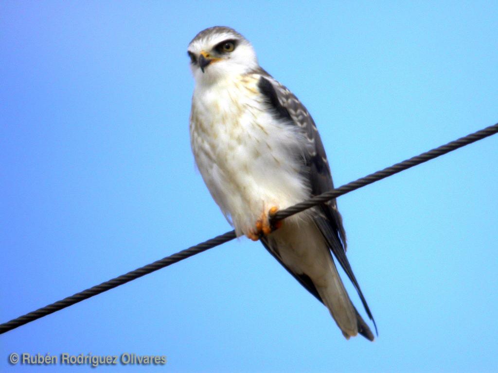 Black-shouldered Kite.JPG