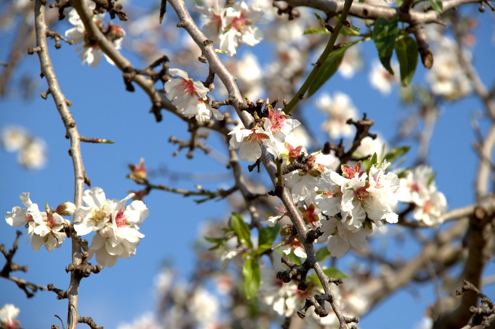 almond-blossom-4068566_1920.jpg